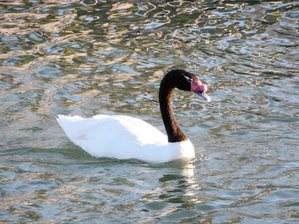 The swan that Balboa Island resident Julie Frey has named Oreo.