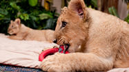 Busch Gardens is asking the public to help name two sister lion cubs that have come to live at the Tampa theme park.