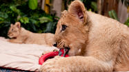 Lion cubs at Busch Gardens Tampa Bay
