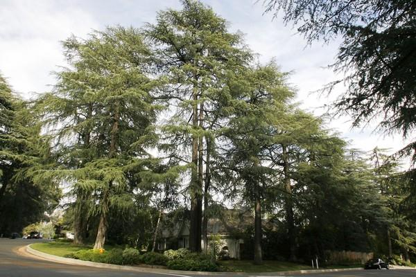 "The City Council will vote on a protected tree ordinance, which includes the creation of a ""Historic Deodar District"" to preserve the trees in La Canada Flintridge."