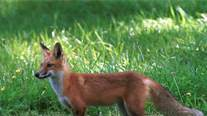 Red fox tested positive for rabies in James City County