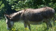 The story: At a petting zoo in Richmond, the donkey named Percy had become dangerously overweight and needed to be put on a diet. Park visitors had to be cautioned about giving him too much food.