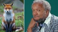 Red fox - not Redd Foxx - tests positive for rabies in James City County