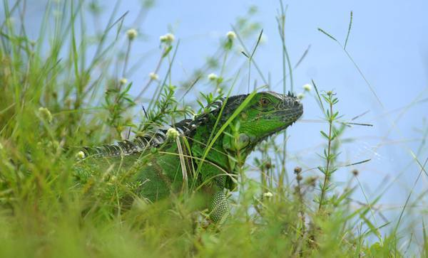 An Iguana enjoys the sunshine near the Hillsboro Canal in Coconut Creek. After dropping from trees in a great die-off in the frigid winter of 2010, the non-native lizards have rebounded.