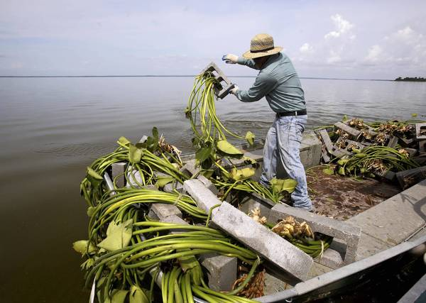Crew member throws spatterdock plants tied to concrete blocks. They are planting several aquatic plants in Lake Apopka, hoping that the 250,000 bulrush and 25,000 water lilies will create a better habitat and more fish in the troubled lake.