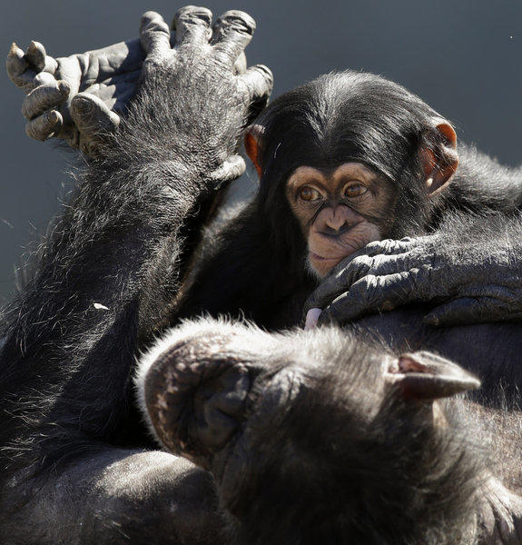 Proposed guidelines from the U.S. Fish and Wildlife seek to reclassify chimps as 'endangered' rather than 'threatened,' a status that offers the animal less protection. Above: A mother chimp relaxing with her baby at Chimp Haven in Keithville, La.