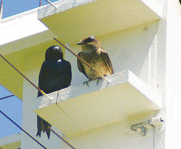 An adult purple martin, left, and a subadult purple martin are seen on a birdhouse.