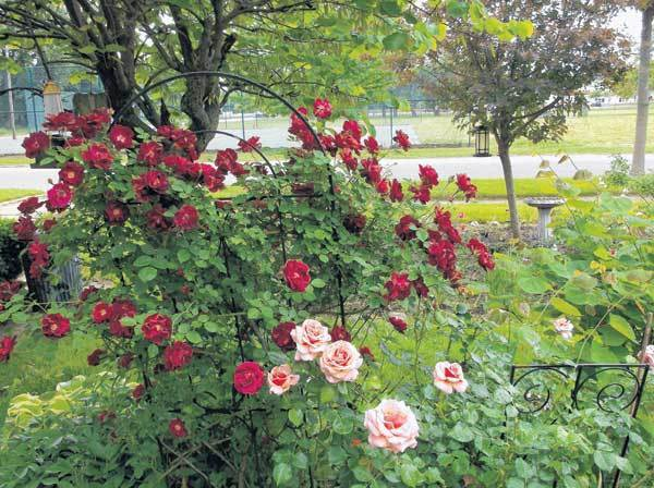 Pictured is a rose bush from the yard of Christine Sopczynski in South Bend. The garden has been transformed to its former glory by Chris.