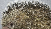 Baby Porcupine Born at Lehigh Valley Zoo
