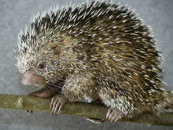 A baby porcupine made its debut at the Lehigh Valley Zoo on Sunday. The prehensile-tailed porcupine, born in April, was the first of its kind bred at the Schnecksville zoo as part of a nationwide effort to help in the survial of the species from Central and South America.