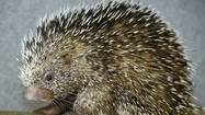 Lehigh Valley Zoo marked Father's Day with a meet-and-greet of its spiky new resident — a prehensile-tailed porcupine.