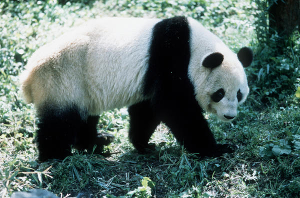 "A giant panda from ""China: The Panda Adventure,"" a 2001 IMAX Corporation production movie."
