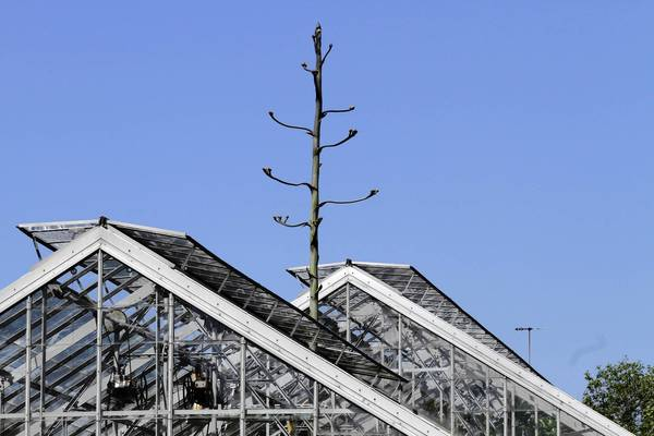 The Agave americana, or century plant, at the Oak Park Conservatory, has grown so tall that a glass window pane had to be removed from the ceiling of the desert room.