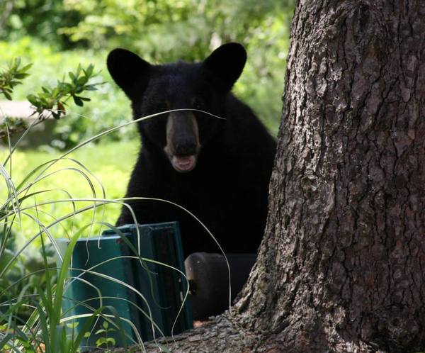 According to Wethersfield Police, this photo was taken on Butternut Circle on June 14. The bear was seen in the Highcrest, Coppermill, Fox Hill areas of town. The bear first came into town from Newington on the other side of the Berlin Turnpike.