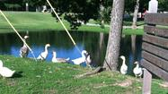 "<span style=""font-size: small;"">Geese seem to rule the roost at the pond in El Dorado's East Park.</span>"