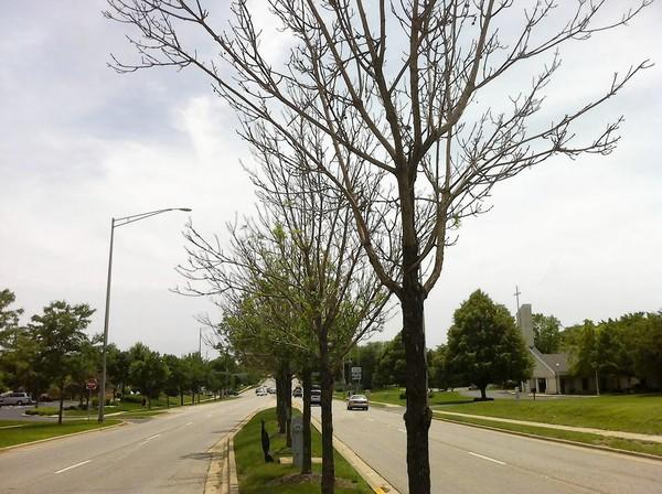 Leafless, dying ash trees on Bolingbrook Drive. The town is trying to determine how how to deal with ash trees dying from an exotic insect that has plagued the region for years.