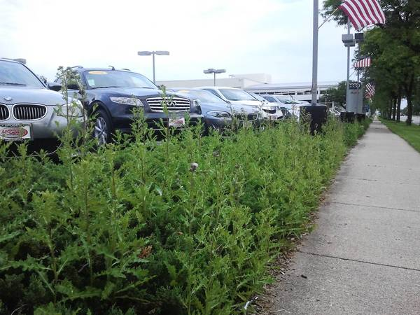 Plants grow in front of cars for sale at McGrath Audi on Waukegan Road in Glenview. New changes to the Glenview municipal code would relax landscaping requirements for car dealerships.