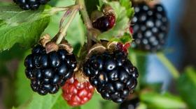 Growing blackberries: Sweet fruit, minus the thorns
