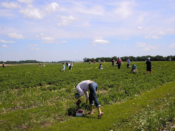 Visitors picking strawberries late last week at Garden Patch Farms and Orchard in Homer Glen.