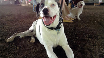 Tohbi, a nine-year-old catahoula who lives with his owner, Gina Baker, in Carrolltown, relaxes at the Pet Extravaganza event at the Cambria County Fairgrounds June 9.