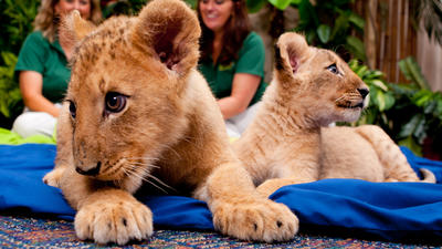Busch Gardens: Lion cubs will be called Shaba, Shtuko