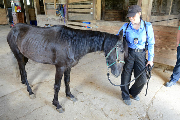 Somerset County humane police officer Tina Thompson is nuzzled by a rescued horse during interviews with members of the media on Wednesday.