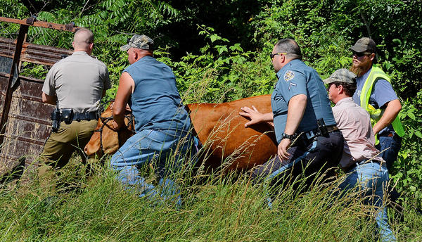 A cow is taken to a livestock trailer by Maryland state troopers, Washington County sheriff's deputies and local farmers after five cows got out of a fenced-in field along Interstate 81 Wednesday afternoon.