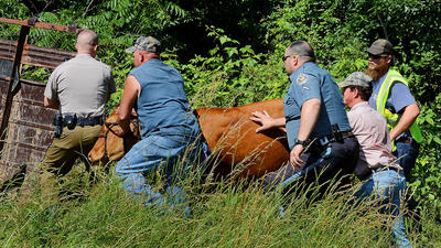 Cops turn cowboy to corral cows along Interstate 81
