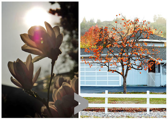 The magnolia tree is known for its beautiful flowers, but for an alternative you might want to consider a Fuyu persimmon tree, whose bright orange fruit can brighten the garden a different way.