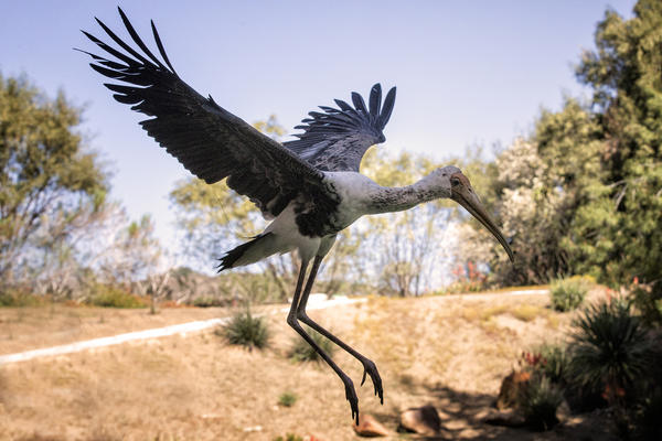 The painted stork that flew away from the San Diego Zoo's Safari Park. Zookeepers are searching for the year-old bird.