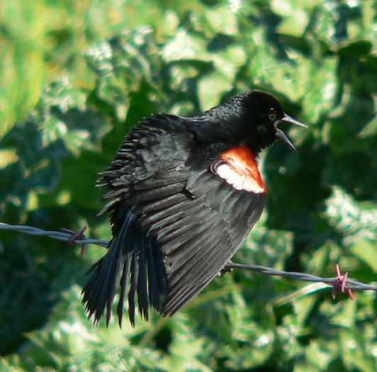 Male tricolored blackbird