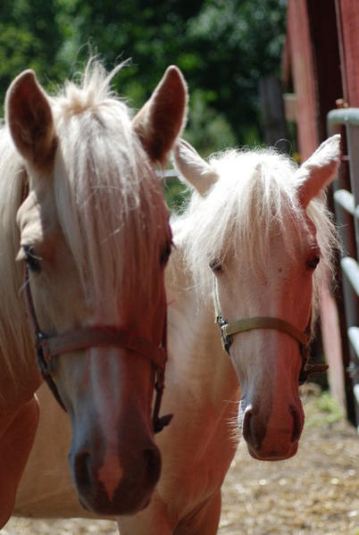 Diamond and Sweet Pea are horses rescued and cared for at Second Chance Ranch and Rescue. They will be at the coming benefit event in Bay Harbor, when participants can learn their rescue story.