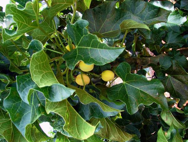 Jatropha plants can be used to produce biofuel.