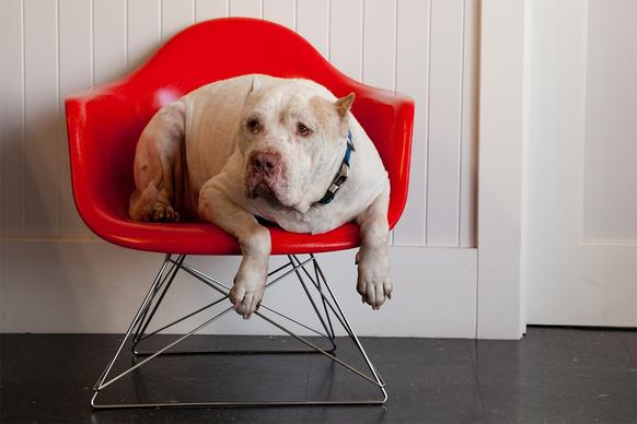 "Belvedere sits on a <A href=""http://modernica.net"">Modernica</a> fiberglass shell chair, on sale for $299 at the Downtown Modernism event. To take home Belvedere too, you can make a $250 suggested donation to the Downtown Dog Rescue, which will have other adoptable dogs at the event."