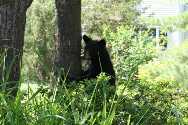 A bear photographed in a Wethersfield resident's back yard was spotted again several days later near the Century Hills apartments in Rocky Hill.