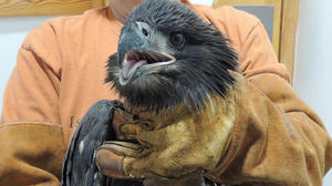Eaglet rescued after recent storm destroys nest on Jamestown Island