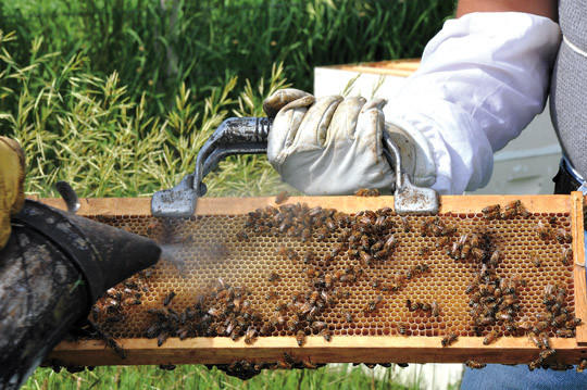 Greg Wandry of Wandry Apiary holds a piece of a hive with bees swarming on in it. This piece contains honey that Wandry and his father, Gerald Wandry, will harvest, bottle and sell. Gerald Wandry holds the smoker, which calms the bees.