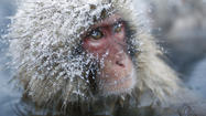 File image of a Japanese Macaque, or Snow Monkey.