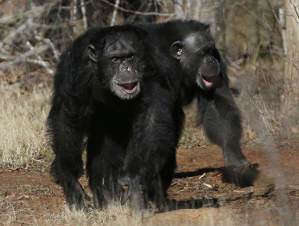Two chimps at Chimp Haven in Keithville, La. The government will retire most of the chimpanzees that have spent their lives in U.S. research labs.