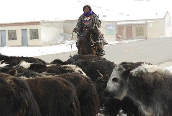 A Tibetan woman rounds up her herd of yak near small brick houses erected in the rugged and mountainous terrain of the Tibetan Autonomous Region.