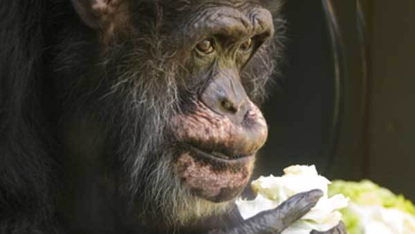 Keo, the oldest male chimpanzee in the U.S., celebrates his 55th birthday with a treat at Lincoln Park Zoo.