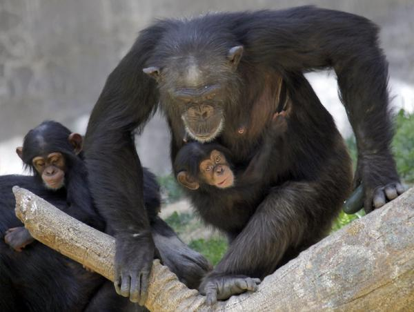 Regina carries her female baby, Zuri, in May at the Chimpanzees of Mahale Mountains exhibit at the Los Angeles Zoo.