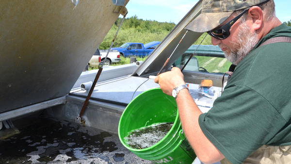Pat Vandaele with the DNR Fisheries Division dumps a pail of walleye fingerlings into a planting truck. The young walleye, from a rearing pond in Hillman, were planted in six area lakes.