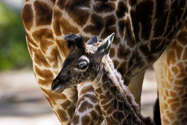 A baby giraffe stays close to its mother shortly after its birth at the L.A. Zoo in April. The zoo's nonprofit partner will take over marketing of the zoo, plus arranging site rentals and catering. Those activities previously had been handled by zoo department staff.