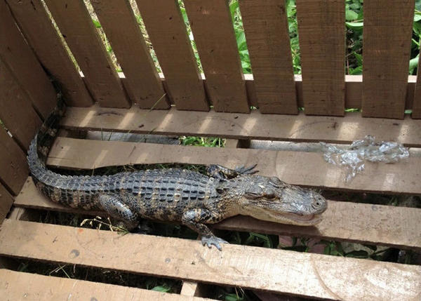 A 3 1/2 foot alligator was found on Broad Street in New London on Saturday.