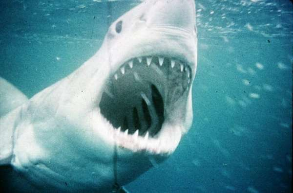 "Steven Spielberg's landmark 1975 thriller, ""Jaws,"" will be swim into the American Cinematheque's Egyptian Theatre o Friday"
