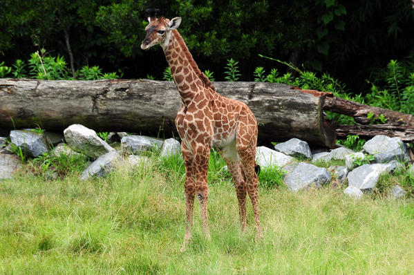 The male giraffe was born on June 6, 2013 at the Virginia Zoo in Norfolk.