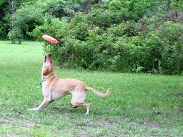 Skyler, a golden retriever and lab mix, jumps for a Frisbee thrown by his owner, Judy Fishbaugh of Oak Forest. Fishbaugh joined Bremen Grove off-leash dog area in November.