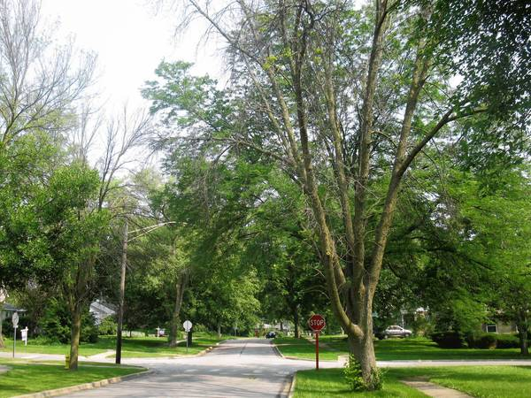 The damage of emerald ash borers on infested trees is obvious along both sides of Lorraine Road, which borders Wheaton and Glen Ellyn.