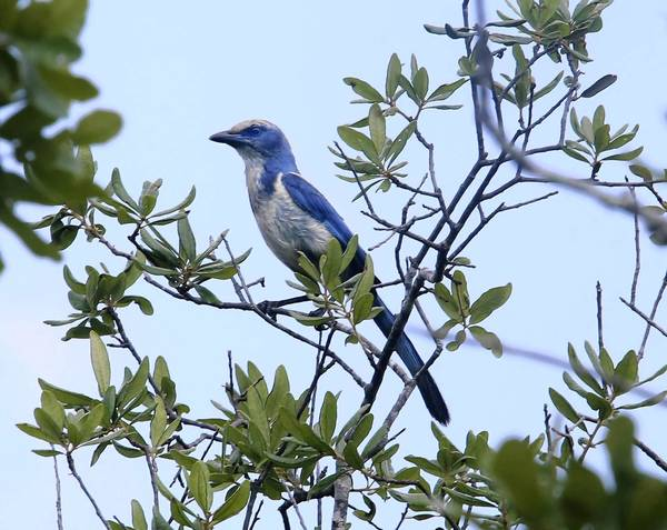 Teams working with the U.S. Forest Service will be helping to harvest sand pines to make the habitat suitable for the Florida scrub-jay. Mechanical cutting of the scrub is necessary when regular control burns are difficult to schedule or control. Scrub-jays are a threatened species, and its Ocala colonies are some of the northernmost populations for the bird.